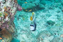 BD-150424-Maldives-8056-Pomacanthus-imperator-(Bloch.-1787)-[Emperor-angelfish.-Äkta-kejsarfisk].jpg